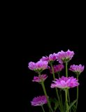 Pink flowers. On black background reaching towards the light Stock Photo