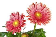 Pink flowers. Two pink flowers with drops of water Royalty Free Stock Photos