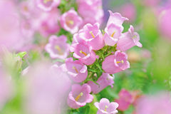 Pink flowers. In spring time Royalty Free Stock Photography