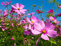 Pink flowers. In field with blue sky stock photos