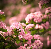 Pink flowers. And buds spring bacground Royalty Free Stock Images