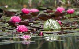 Pink flowers. Water garden stock photo