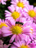 Pink flowers. And fly royalty free stock photography