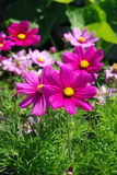 Pink flowers. Bright pink flowers in the garden Royalty Free Stock Image