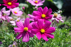 Pink flowers. Bright pink flowers in the garden Royalty Free Stock Photography