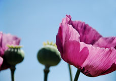 Pink flowers. Pink pastel flower against the summer sky Stock Image