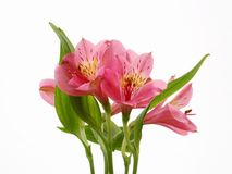 Pink Flowers Royalty Free Stock Photos