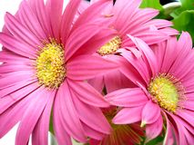 Pink flowers. Pink beautiful flowers are blooming Stock Photography