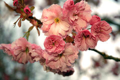 Pink flowers. On the tree royalty free stock images