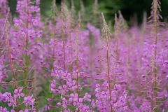 Pink flowers. Pink wild flowers photo background stock photography