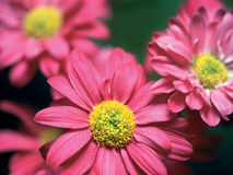 Pink flowers. Shallow depth-of-field image of pink flowers stock photography
