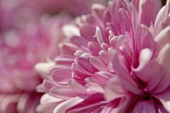 Pink Flowers. With a shallow depth of field stock photos
