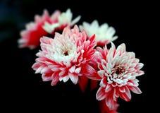 Pink flowers. Taken in cgina restaurant near Nice Stock Photos