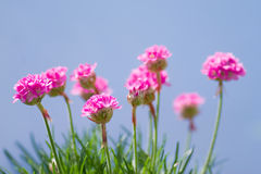 Pink flowers. Pink wild flowers over the blue sky royalty free stock images