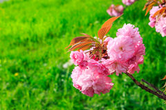 Pink flowers above grass on sakura branches Stock Images