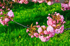 Pink flowers above grass on sakura branches Royalty Free Stock Images