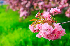 Pink flowers above grass on sakura branches Stock Photography
