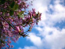 Pink flowers on acacia tree with blue sky Stock Images