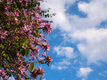 Pink flowers on acacia tree with blue sky Royalty Free Stock Photos