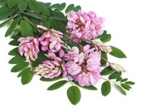 Pink flowers of acacia on a white background Royalty Free Stock Photos