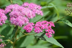 Pink flowers against the background of summer greens. Beautiful flowers under summer sun rays Royalty Free Stock Photos