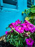 Pink Flowers against Blue Shudders. Green, natural, soil stock image