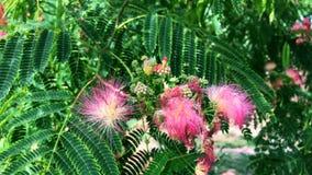 Pink flowers Albizia julibrissin stock video footage