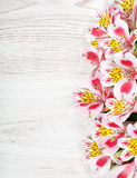 Pink flowers Alstroemeria on light background Stock Photography