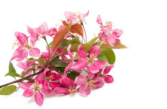 Pink flowers of apple isolated Royalty Free Stock Photography