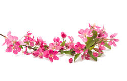 Pink flowers of apple isolated. On white background Stock Photography