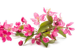 Pink flowers of apple isolated Royalty Free Stock Photo