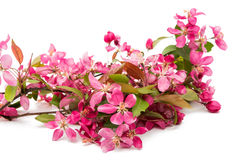 Pink flowers of apple isolated Stock Photos