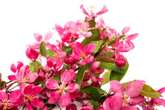 Pink flowers of apple isolated Royalty Free Stock Photos