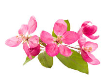 Pink flowers of apple isolated Stock Photo