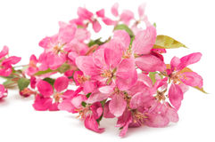 Pink flowers of apple isolated Stock Image