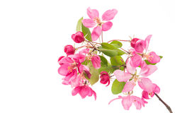 Pink flowers of apple isolated Royalty Free Stock Image