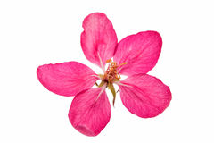 Pink flowers of apple isolated Stock Photography