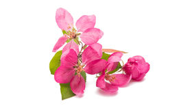 Pink flowers of apple isolated Stock Images