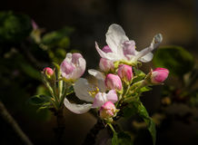 Pink flowers of apple tree Royalty Free Stock Images