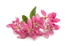 Pink flowers on an apple-tree Stock Image