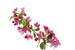 Pink flowers on an apple-tree Stock Images