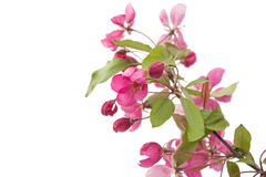 Pink flowers on an apple-tree Royalty Free Stock Images