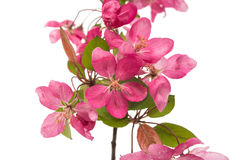 Pink flowers on an apple-tree Stock Photography