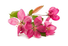 Pink flowers on an apple-tree Royalty Free Stock Photo