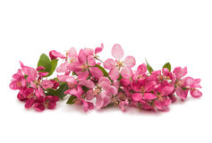 Pink flowers on an apple-tree Royalty Free Stock Photos