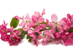 Pink flowers on an apple-tree Stock Photos