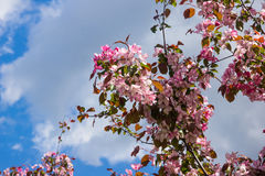 Pink flowers of apple trees spring landscape Stock Photo