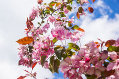 Pink flowers of apple trees spring landscape Royalty Free Stock Image