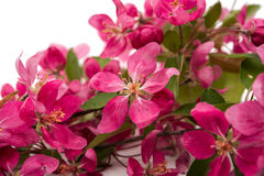 Pink flowers of apple. On a white background Stock Images