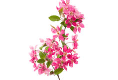 Pink flowers of apple Royalty Free Stock Photo